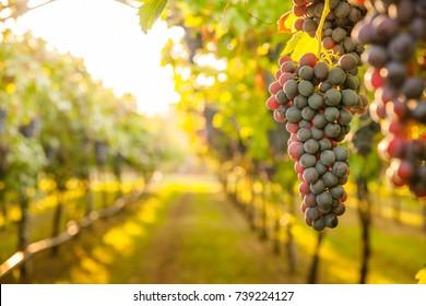 grape harvest - Shutterstock ID 739224127
