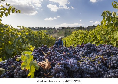 Grape harvest : farmer working in a vineyard. Blue sky background with clouds