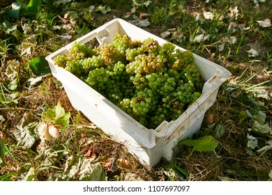 Grape harvest. Green grapes in a box. Old vineyards with green wine grapes in the Alentejo wine region near Porto city, Portugal Europe.