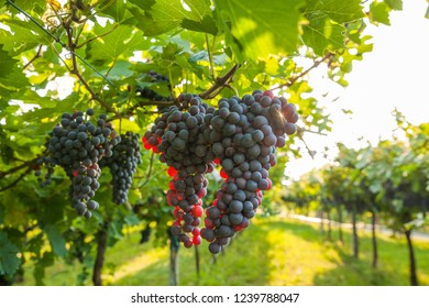 grape harvest in Italy