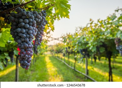 Grape harvest Italy