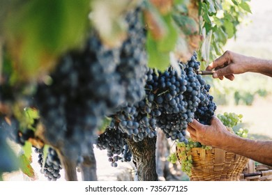 Grape harvest to make wine with your hands
