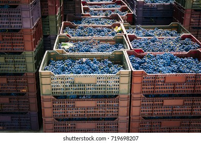 Grape harvest in small organic vineyard in Chile