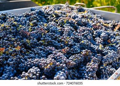 Grape harvest in a vineyard