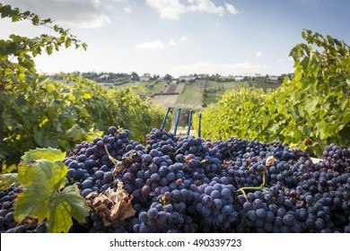 Grape harvest in a vineyard. Blue sky background with clouds