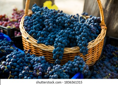 Grape harvest in the vineyard. Close-up of red and black clusters of Pinot Noir grapes collected in boxes and ready for wine production.
