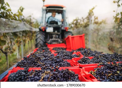 Grape harvest, vineyards and tractor with farmer full of harvested grapes.