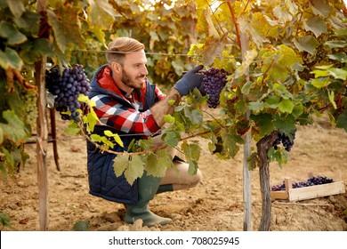 Grape harvest worker vintner on family vineyard