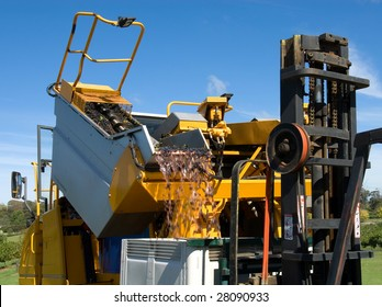 A grape harvester unloading grapes into a bin on a forklift