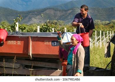 Grape harvesters in Kakheti, Kakheti region, Georgia, September 2009: Georgian farmers work harvesting grapes during harvest season in Kakheti, Georgia.