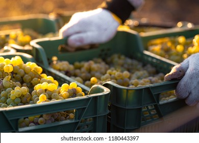 Grape harvesting on vineyards. Winemaker putting box with freshly picked grapes onto the truck.