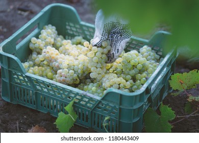 Grape harvesting on vineyards. Winemaker putting ripe bunch of grapes into the box.