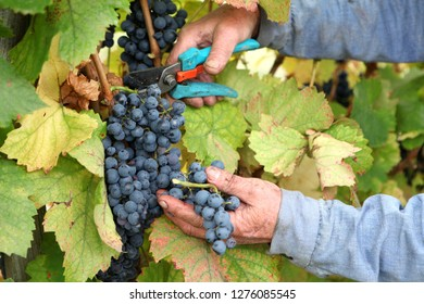 grape harvesting in a vineyar
