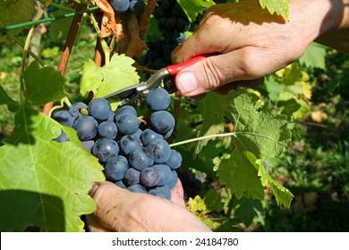 Grape harvesting in a vineyard in South Germany