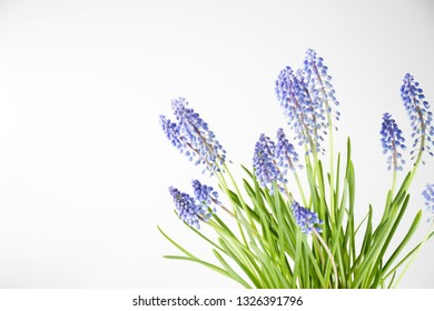 Grape hyacinth or Blue Muscari flower in pot and white background, a genus of perennial bulbous plants most commonly blue,flower resembling bunches of grapes ,blossom in spring season.