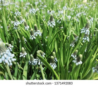 Grape hyacinth, blue Muscari, in a large field overview meadow