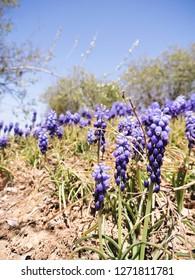Grape Hyacinth Flowers Close Up