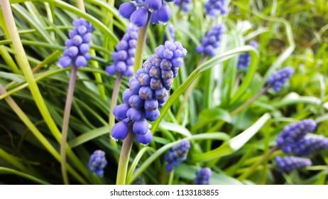 grape hyacinth flowers as nice spring background