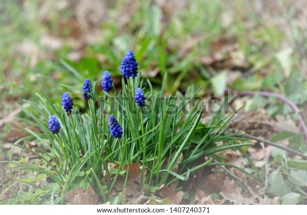 Grape Hyacinth Muscari Botryoides Their Unique Stock Photo Edit