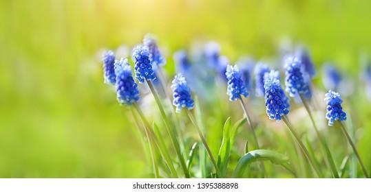 Grape hyacinth Muscari flowering in spring. blue muscari armeniacum flower in beautiful spring garden. Spring Flower Grape hyacinth (Muscari armeniacum) on green sunny meadow. banner. copy space