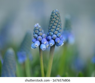 Grape hyacinth Muscari flowers. blue muscari armeniacum flowers on spring garden with natural blurry background, space for text. Sunny meadow. Spring season. Isolated.