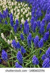 Grape hyacinth (Muscari neglectum) is a perennial bulbous plant. Muscari are perennial bulbous plants native to Eurasia.