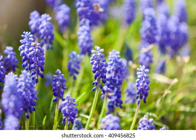 Grape hyacinth or pink lilac blooming in nature