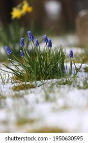 Grape hyacinth plant in the hail at old cemetery in Hoogeveen, The Netherlands