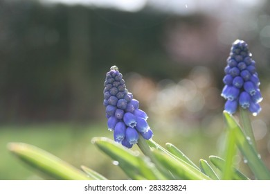 Grape hyacinths in our garden