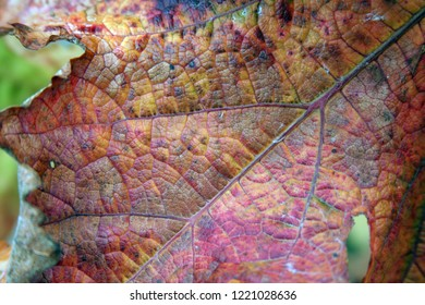 Grape Leaf Close up