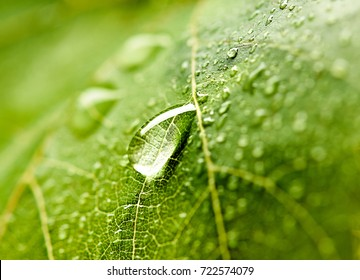 Grape leaf with dew drops.