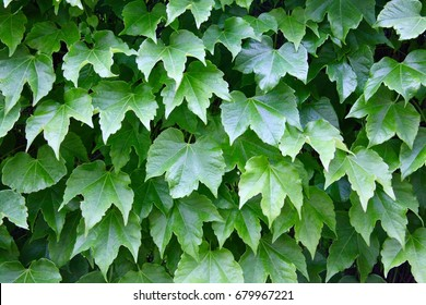 Grape leaf fence in Spain