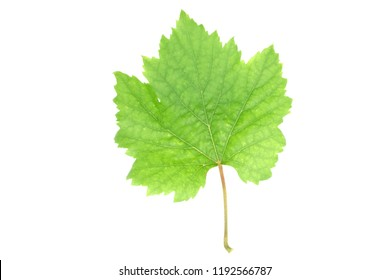 Grape leaf green on white background.