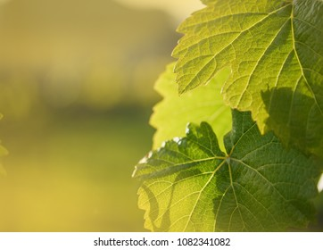 Grape leaf growing on grapevine. Macro closeup. shallow DOF.