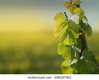 Grape leaf growing on grapevine in vineyard. Closeup. shallow DOF.