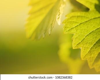 Grape leaf growing on grapevine in vineyard. Macro closeup. shallow DOF.