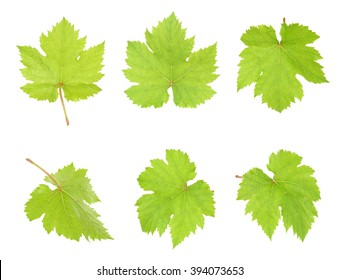 Grape leaf isolated on the white background.