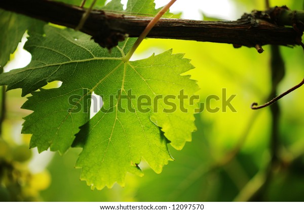 Grape leaf on grapevine, close-up. Shallow DOF.