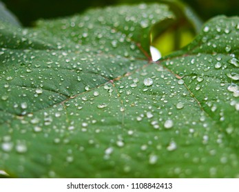 Grape leaf with water drops, after rain.