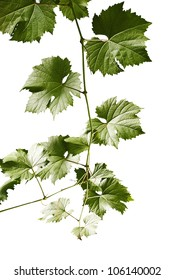 Grape leaves of a branch on a white background.