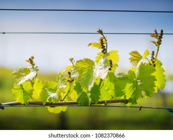 Grape leaves growing on grapevine. Closeup. shallow DOF.