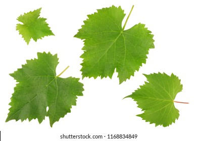Grape leaves isolated on white background top view.