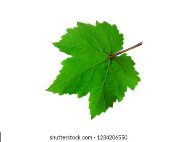 Grape leaves on white background.