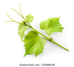 Grape leaves on branch with tendrils isolated on white background.