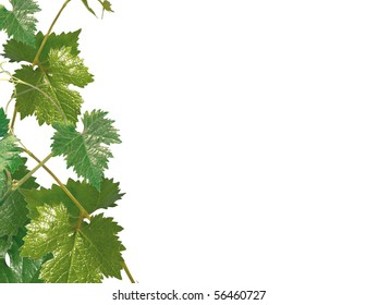 Grape leaves on a white background
