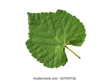 Grape leaves on a white background. (with clipping path)