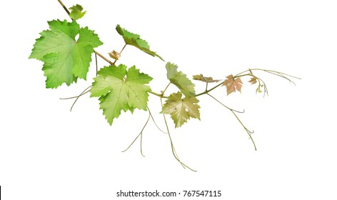 Grape leaves vine branch with tendrils isolated on white background, clipping path included