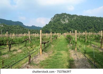 grape leaves in vineyard