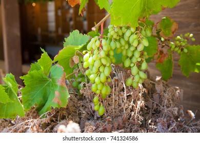 Grape on the branch. Crete, Greece