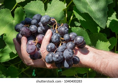 Grape on a hand on vineyard